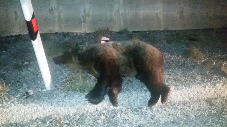 Νέο τροχαίο με νεκρή αρκούδα στην Εγνατία Οδό [εικόνες]