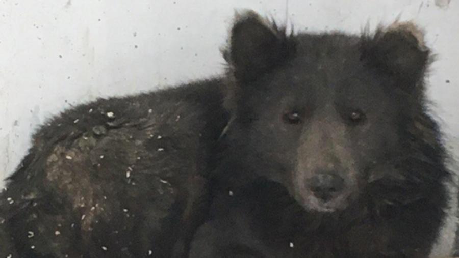 Βρέθηκε στη Ρωσία και όλοι αναρωτιούνται: Είναι σκύλος ή αρκούδα;