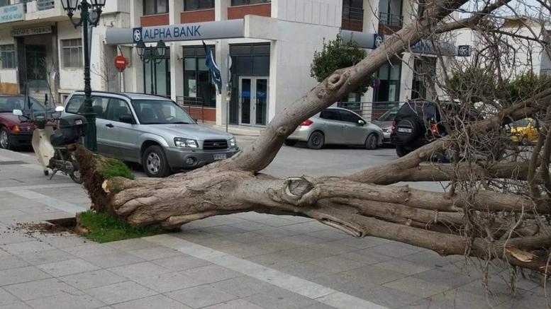 Ο αέρας ξερίζωσε δέντρο στα Φάρσαλα