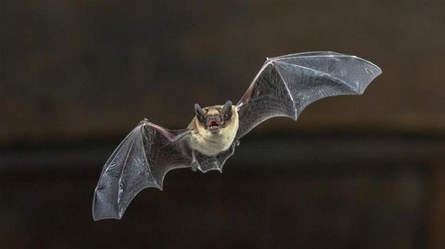 Οι επιστήμονες ψάχνουν και στις νυχτερίδες το μυστικό της μακροζωίας