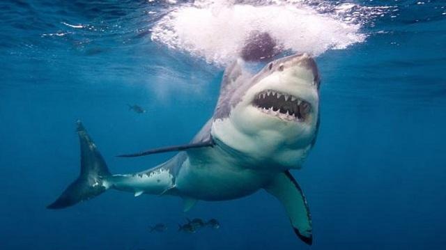 Αυστραλία: Περισσότεροι από 2.000 ενήλικοι λευκοί καρχαρίες ζουν στη θαλάσσια περιοχή
