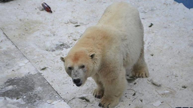 Πέθανε η Αμντέρμα, η γηραιότερη λευκή αρκούδα της Ρωσίας