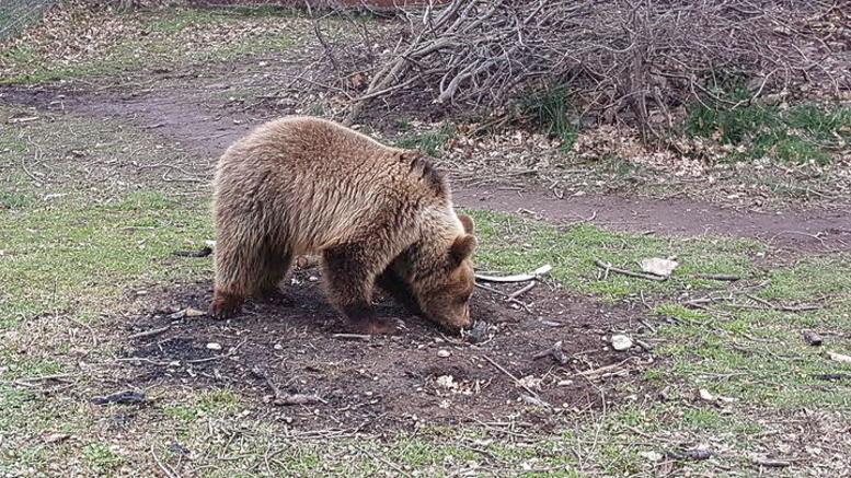 Ο Αρκτούρος έσωσε το αρκουδάκι Ρέι που είχε βγει προς πώληση