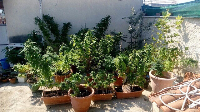 Δεκάδες φυτά κάνναβης καλλιεργούσαν δύο 20χρονοι στη Λάρισα
