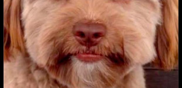 Ο σκύλος που μοιάζει με άνθρωπος τρελαίνει το internet
