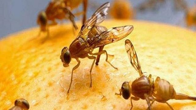 Αυστραλία: Επιστρατεύουν στειρωμένες φρουτόμυγες για να αντιμετωπίσουν επιδημία