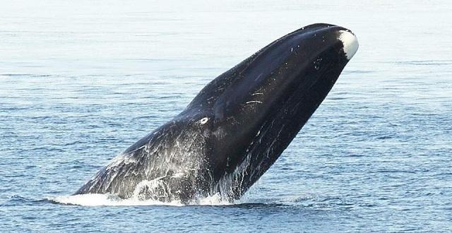 Οι τοξοκέφαλες φάλαινες τραγουδούν... free jazz για να προσελκύσουν το ταίρι τους