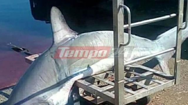 Καρχαρίας 200 κιλών πιάστηκε σε παραγάδι στον Πατραϊκό κόλπο