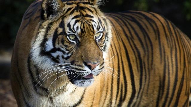 Συνέλαβαν αρχηγό συμμορίας στο Μεξικό μαζί με την... τίγρη του!