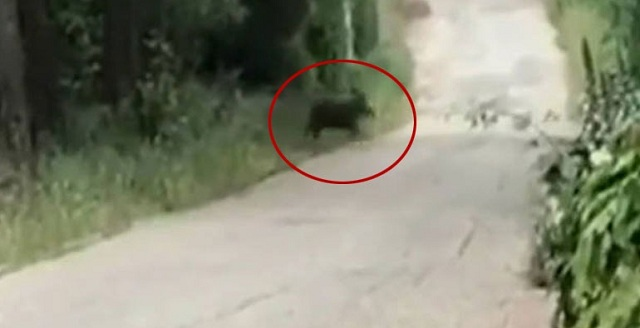 Αγέλη αγριογούρουνων σουλατσάρει στην Εκάλη [βίντεο]