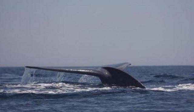 Σκότωσαν 333 φάλαινες! Οι 122 ήταν έγκυες