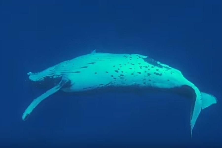 Φάλαινα προστατεύει δύτη από καρχαρία βάζοντάς την κάτω από το πτερύγιο
