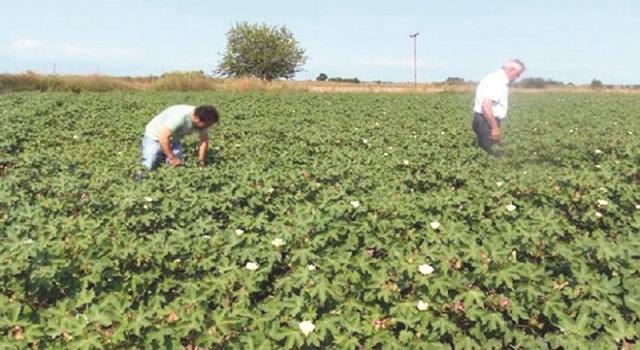 Προβλήματα στις βαμβακοκαλλιέργειες προκάλεσαν τα μπουρίνια Μαΐου -Ιουνίου