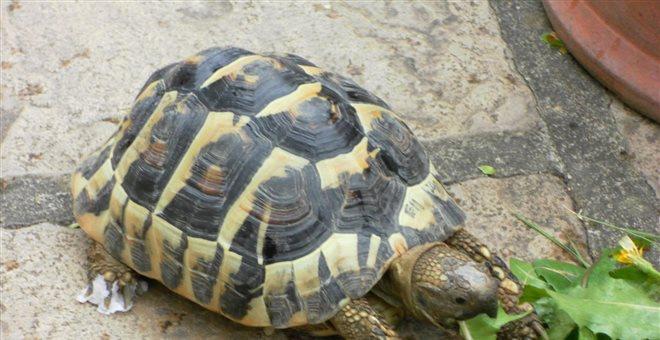 Σπάνιο είδος χελώνας μπλοκάρει την ανέγερση νοσοκομείου στην Κορσική