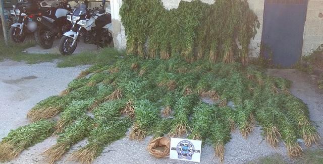Εξώδικο για την εκρίζωση 10.586 φυτών κάνναβης στην Καρδίτσα