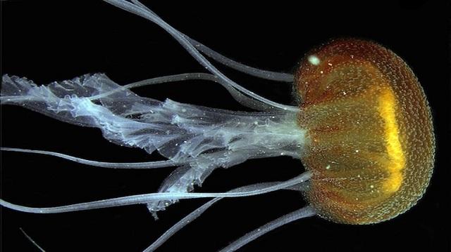 Νέο είδος μέδουσας εντοπίστηκε στο Ιόνιο