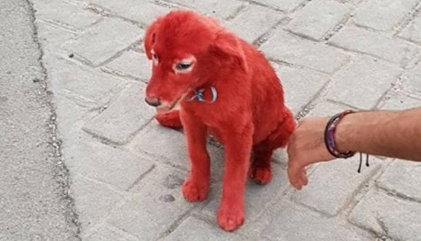 Αγνωστοι έβαψαν κουταβάκι κόκκινο με βαφή μαλλιών! [εικόνες]