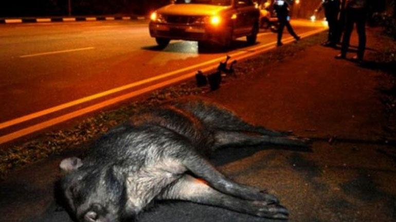 Φθιώτιδα: Αυτοκίνητο τράκαρε με αγριογούρουνο