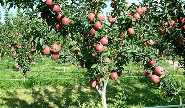 Ικανοποιητική η παραγωγή στις δενδροκαλλιέργειες χαμηλή η κατανάλωση