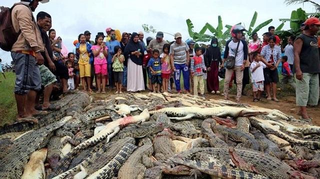 Σκότωσαν 300 κροκόδειλους για εκδίκηση στην Ινδονησία