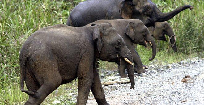 Χωρικοί στη Μαλαισία σκότωσαν σπάνιο είδος ελέφαντα