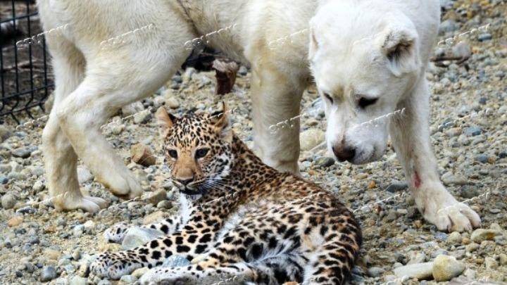 Σκυλίτσα «υιοθετεί» νεογέννητη λεοπάρδαλη