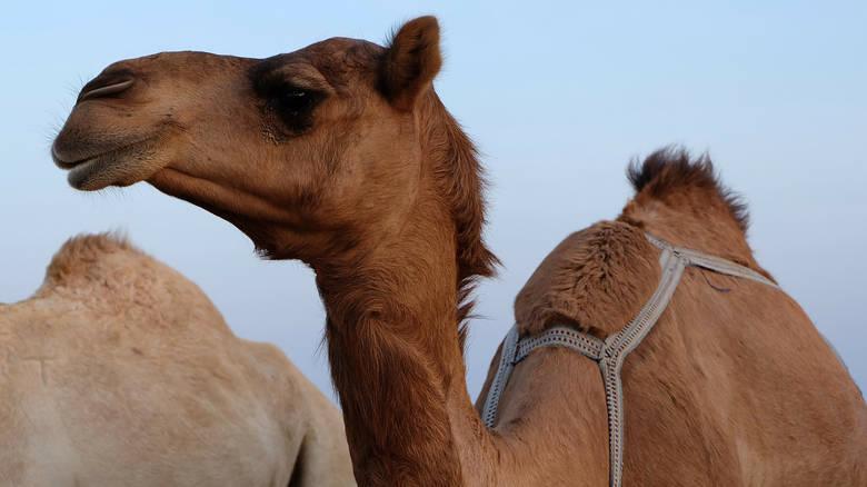 Τουρκία: 28χρονος πουλά την καμήλα του για να εξαγοράσει τη στρατιωτική του θητεία