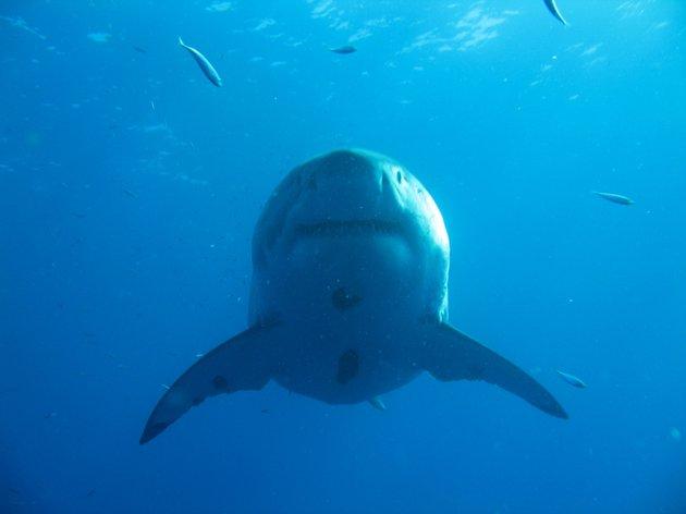 Deep Blue: Ο μεγαλύτερος...μεγάλος λευκός καρχαρίας που έχει καταγραφεί ποτέ