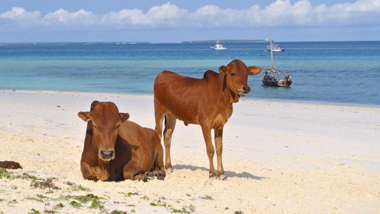 Σουηδία: Επιτρέπεται η πρόσβαση σε αγελάδες στις παραλίες γυμνιστών τις ημέρες του καύσωνα