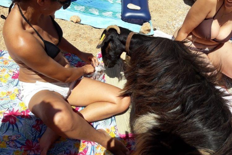 Η κατσίκα από την Κρήτη που έγινε viral: Έτρωγε το φαγητό λουόμενων (video)