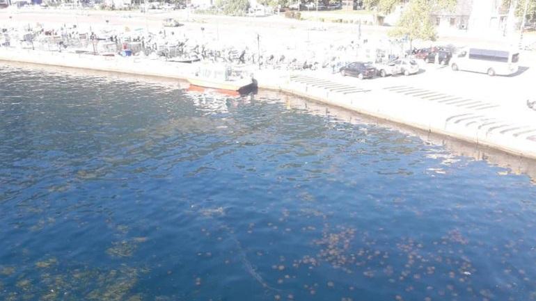 Γέμισε μέδουσες το λιμάνι του Αγ. Κωνσταντίνου Φθιώτιδας