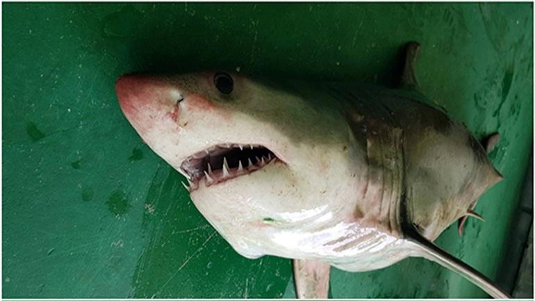 Λευκός καρχαρίας 2 μέτρων στα δίχτυα ψαρά στη Σαμοθράκη!