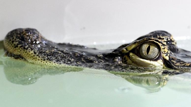 Επίθεση αλιγάτορα: Εσωσε τον σκύλο της, αλλά όχι τον εαυτό της