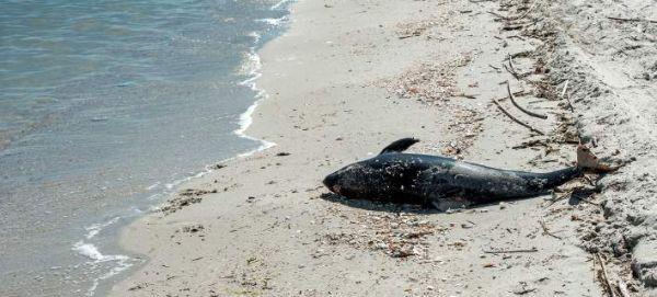 Ο λόγος που δεν πρέπει να ρίξετε πίσω στη θάλασσα ένα δελφίνι που ξεβράστηκε στην ακτή