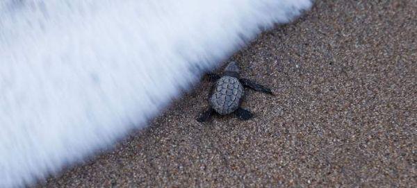 Μεξικό: Περίπου 300 θαλάσσιες χελώνες βρέθηκαν νεκρές στις νότιες ακτές