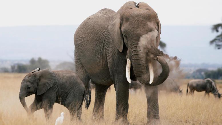87 ελέφαντες θανατώθηκαν και γδάρθηκαν από λαθροκυνηγούς