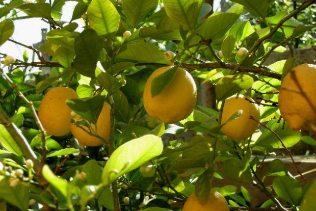 Δέσμευση μεγάλης ποσότητας λεμονιών σε επιχείρηση στου Ρέντη