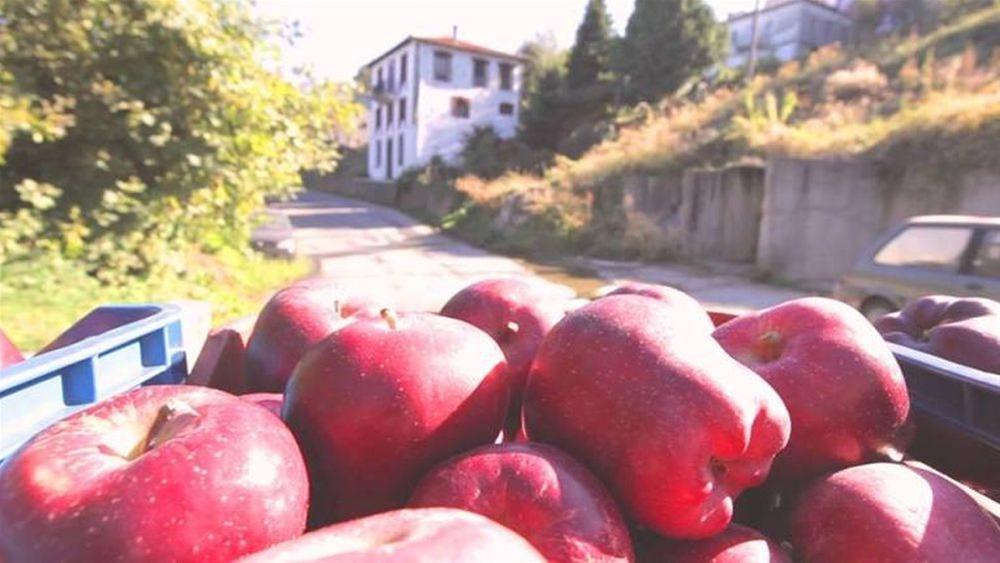 Ξεκίνησε η συγκομιδή μήλων στη Ζαγορά