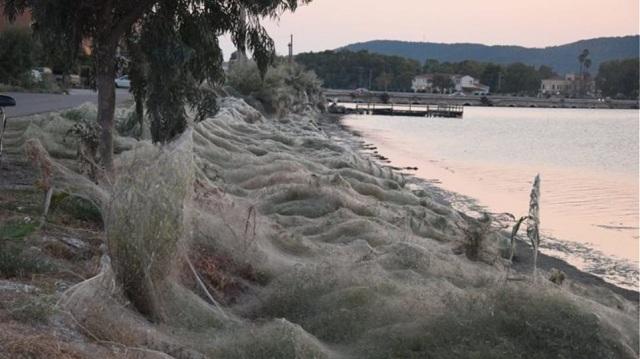 Τεράστιο «πέπλο» από ιστούς αράχνης «κατάπιε» 300 μέτρα βλάστησης στο Αιτωλικό [εικόνες]