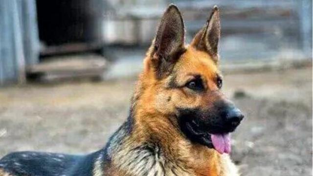 Ηλικιωμένη πέθανε μετά από επίθεση σκύλου της αστυνομίας μέσα στο ίδιο της το σπίτι