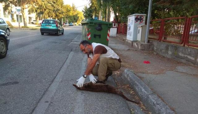 Καστοριά: Αυτοκίνητο χτύπησε και σκότωσε βίδρα –Εικόνες από το σημείο με το σπάνιο θηλαστικό