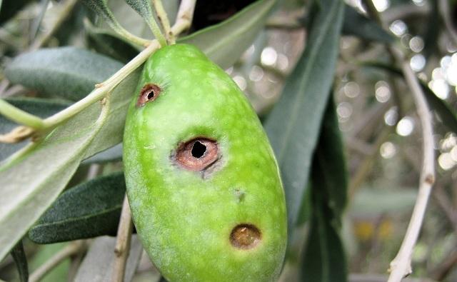 «Κεσάτια» για τους ελαιοπαραγωγούς