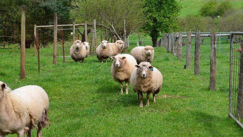 Ζωοκλέφτες άρπαξαν 40 πρόβατα και ξυλοκόπησαν τα σκυλιά στην Μεταμόρφωση Καρδίτσας