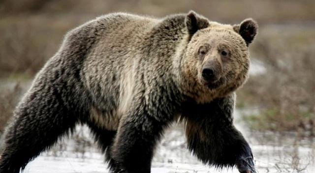 Φτιάχνουν… «οίκο ευγηρίας» για τις υπερήλικες αρκούδες