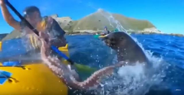 Φώκια χαστουκίζει καγιακίστα με χταπόδι: Το βίντεο που έγινε viral