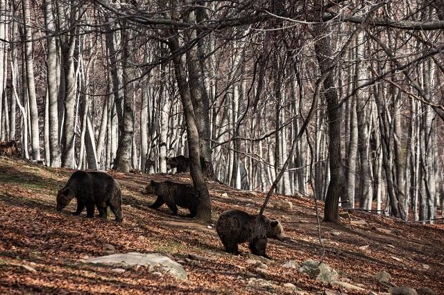 Αρκούδα πετούσε πέτρες σε γυναίκα βοσκό στα Τρίκαλα