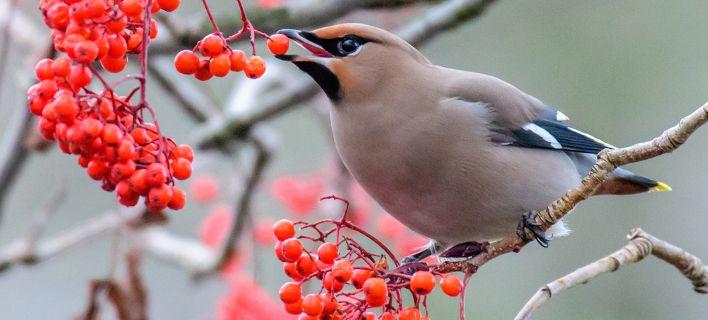 Στη Μινεσότα τα πουλιά κυκλοφορούν... μεθυσμένα -Προειδοποίηση από τις αρχές