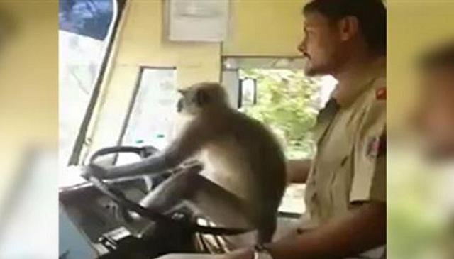 Μαϊμού «οδηγός» λεωφορείου!