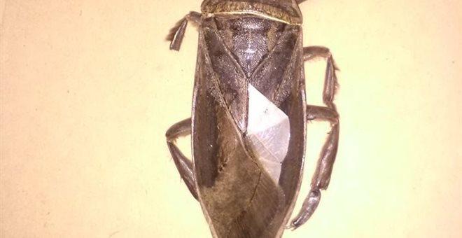 Λαμία: Εντοπίστηκε σαρκοφάγο έντομο γίγας