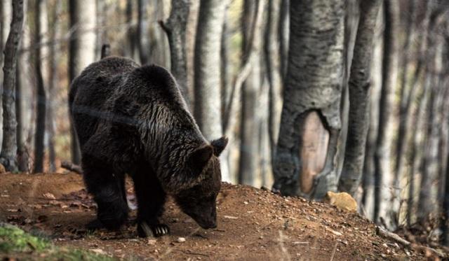 Αρκούδα «επισκέφτηκε» μαντρί στα Τρίκαλα